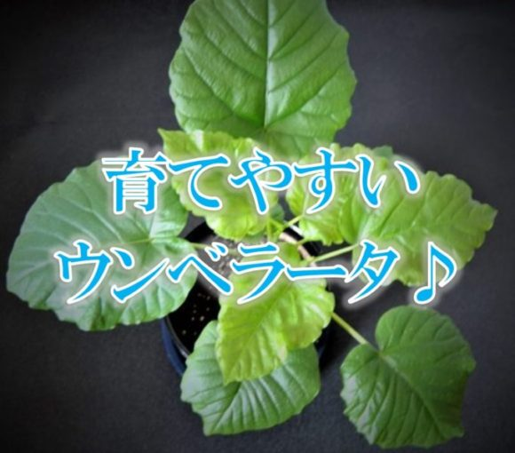 ウンベラータ,観葉植物,インテリア,植物,癒し,育てやすい,おしゃれ,カフェ,剪定,曲がり,葉,時季,枯れる,黄色,虫,通販,風水,土,肥料,アイキャッチ