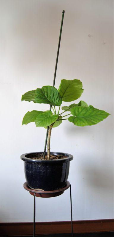 挿し木で成長したウンベラータ