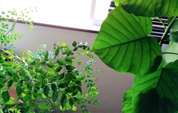 ウンベラータ,観葉植物,インテリア,植物,癒し,育てやすい,おしゃれ,カフェ,剪定,曲がり,葉,時季,枯れる,黄色,虫,通販,風水,土,肥料10月,9月,nhk,おしゃれ,おすすめ,きのこ,やり方,アマゾン,ウンベラータ,ウンベラータ剪定新芽,ウンベラータ植え替え時に剪定,ハサミ,ブログ,人気,位置,元気ない,冬,切り口,剪定,剪定の仕方,剪定後,剪定方法,動画,土,場所,夏,外,外植え,天,失敗,成長,成長が止まった,成長しない,成長点,成長記録,成長過程,挿し木,挿し木の時期,挿し木後,方法,日記,時期,曲げる,曲げる方法,曲げる時期,根,根が出ない,植え替え,植え替え後,止まる,止める,気温,水,水やり,水挿し,水耕,準備する物,猛暑,画像,白い,秋,穴,肥料,肥料の与え方,肥料やけ,育て方,育て方形勢,花言葉,芽,茶色,葉,葉が枯れる,葉が落ちる,葉が黄色,葉が黄色い,葉が黄色く,葉が黄色くなる,葉っぱ,葉水,虫,虫が湧く,鉢,鉢の大きさ,鉢カバー,鉢上げ,鉢増し,鉢植え,間引き,駆除,黄,黒,黒い,