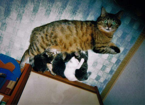猫,子猫,白猫,多頭飼い,キジトラ、ねこあつめ,にゃん子先生,にゃんこ,チーム白猫,meow,kitty,cat,多頭飼い,飼育,悩み,妊娠,拾い猫