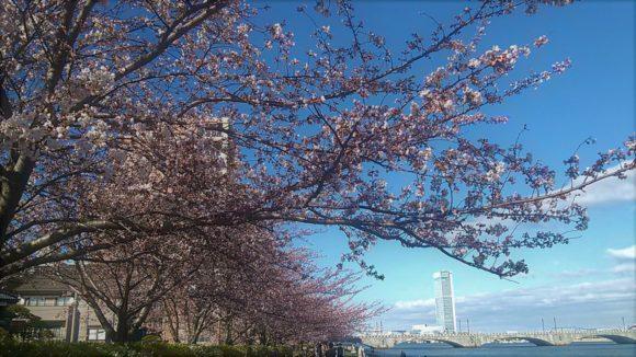 春の信濃川やすらぎ堤 桜♪