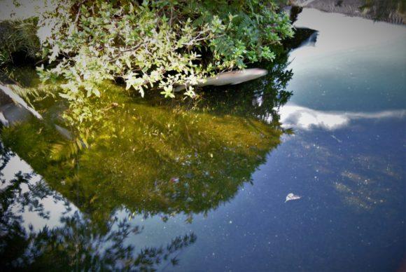 白い錦鯉。悠々と泳いでます。