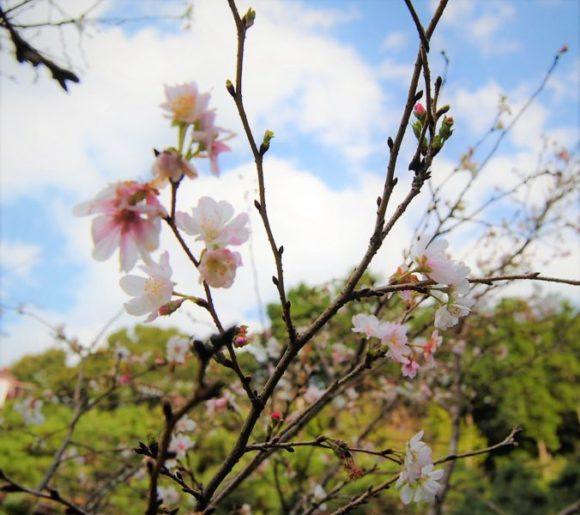 10月なのに季節外れの桜が咲いていました。調べると「十月桜」という品種で、年2回花を咲かせるみたいです。