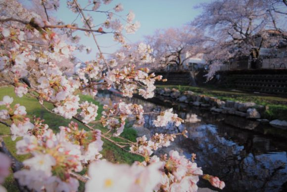 調布・野川の桜。ゆっくり走りたいときは野川がランニングコースです。