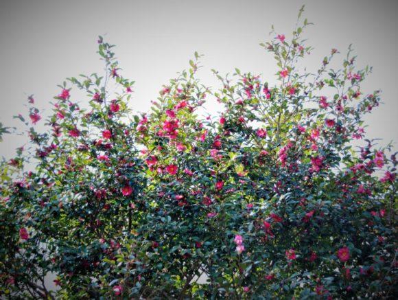 野川から見上げるとツバキが咲いていました。