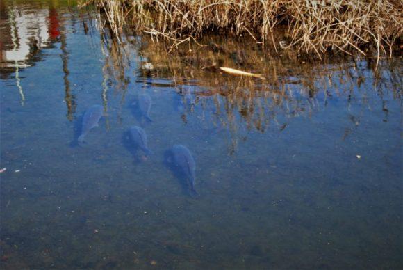 鯉もそよそよ泳いでいます。