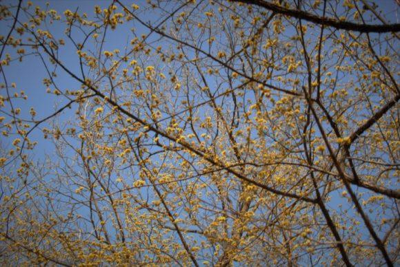 黄色い蝋梅は青空に映えます。
