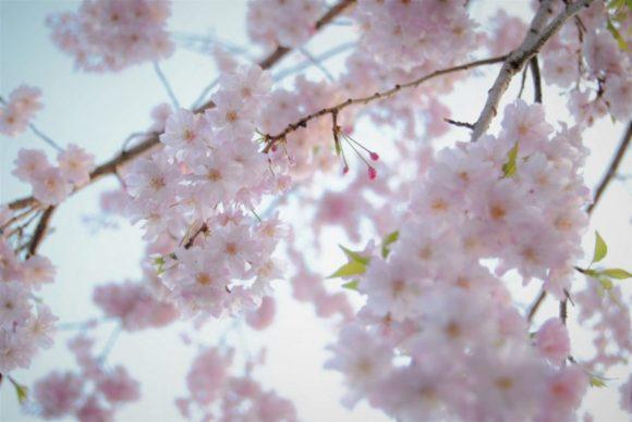 葉桜もまたきれいです(2018年4月1日撮影)