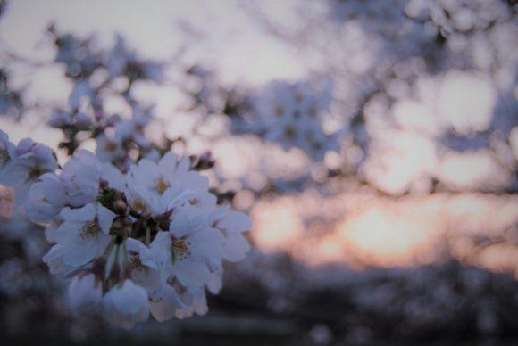 2018年3月25日5:48撮影。日の出直前で桜が淡い色に輝きます。