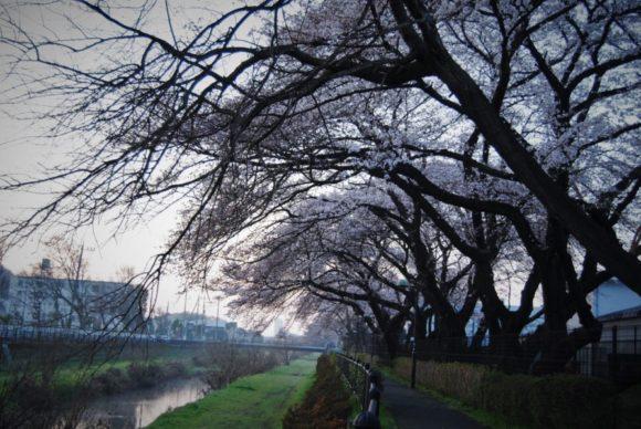 三鷹市大沢付近の野川『桜並木』