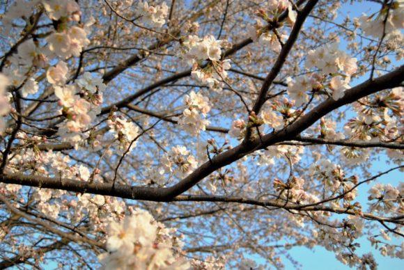 2018年3月25日6:29撮影。桜は強い朝日を浴びると黄色味を帯びる。