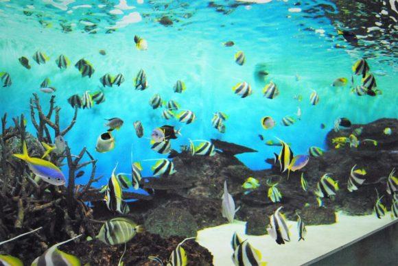 絵になる魚「ツノダシ」がいっぱい。