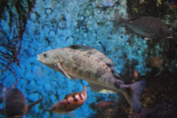 ホッケ!北海道で釣りたい魚の一種。