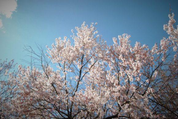 櫻を撮影していると…