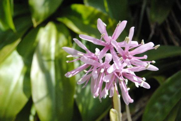 ショウジョウバカマっていう花。