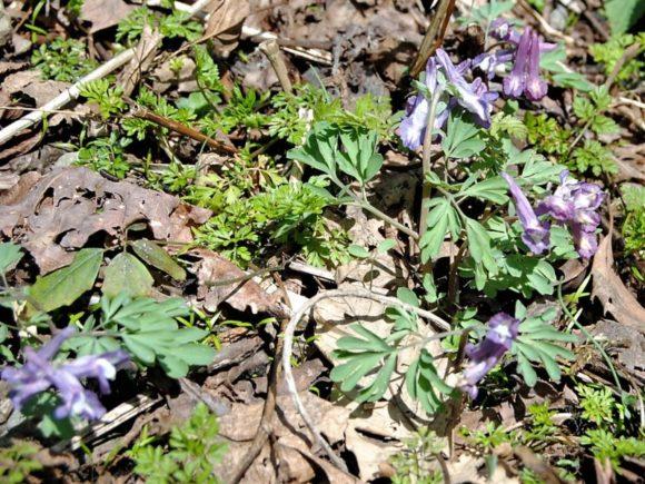 淡紫色のエゾエンゴサク。