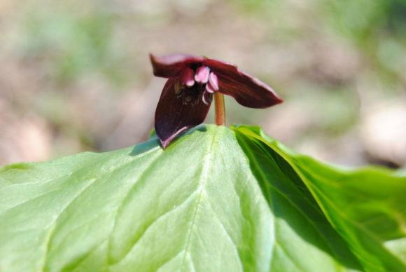 エンレイソウ(延齢草)。初々しい花が咲くまで15年余もかかるらしい。