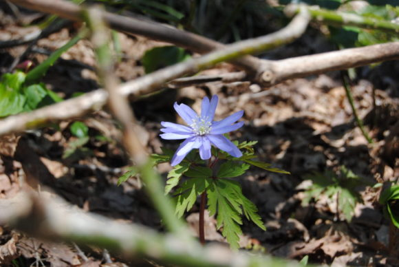 キクザキイチゲ。あっという間に姿を消すスプリング・エフェメラル(春のはかない短命の植物)。