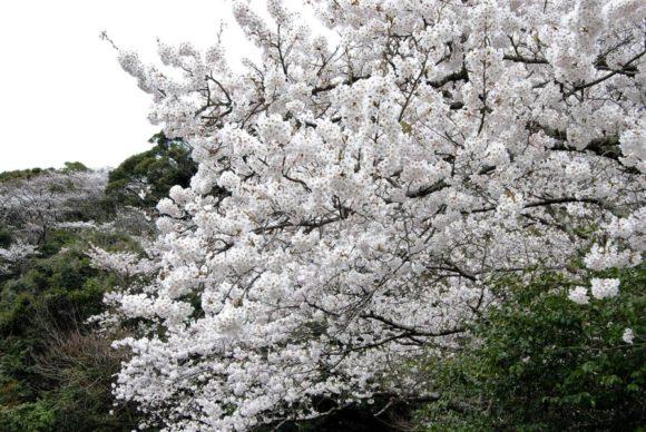 立派に咲き誇る桜