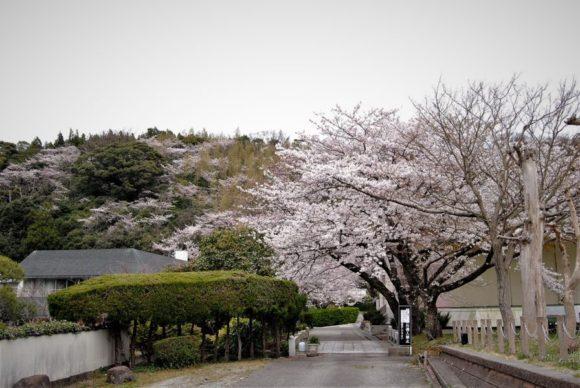 山の桜がきれいで、桃源郷のようです。