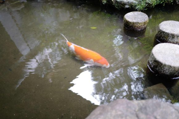 それにしても立派な鯉だ。