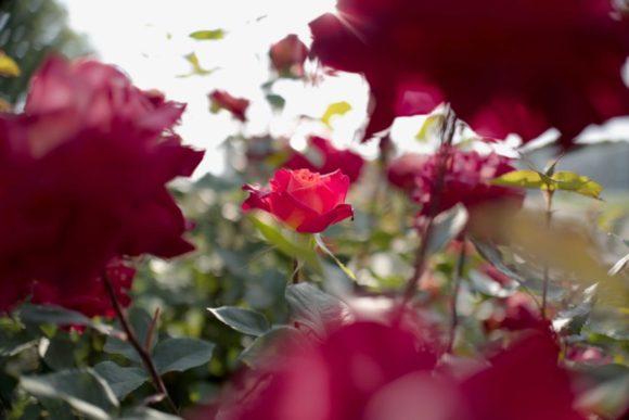 さらに薔薇を撮影。手前、奥が良い感じにボケるのが良いですよね。