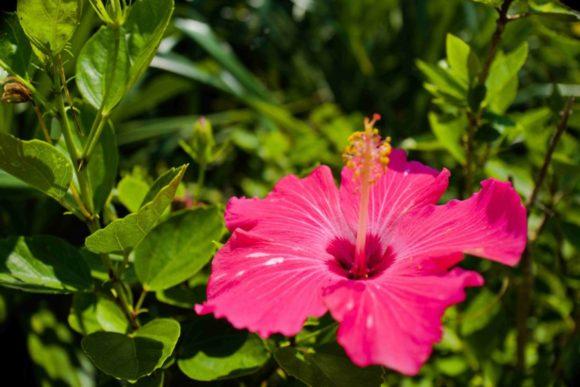 のびのび咲いているハイビスカス