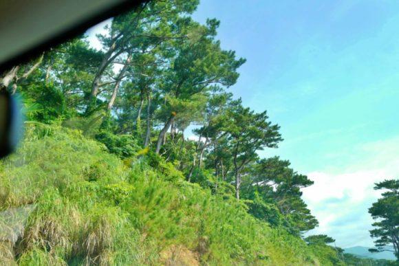 西表島にも松の木がたくさん生えている
