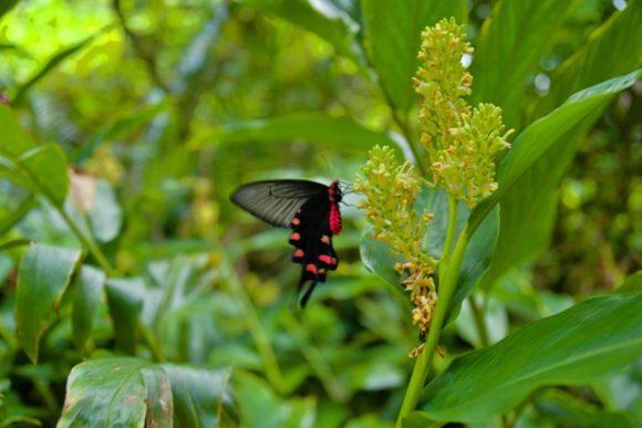 西表島の蝶。蝶の羽ばたきはテキサスで竜巻を引き起こすか?