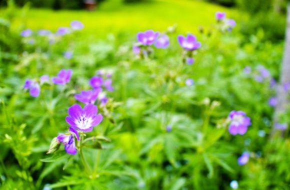 紫色の高山植物