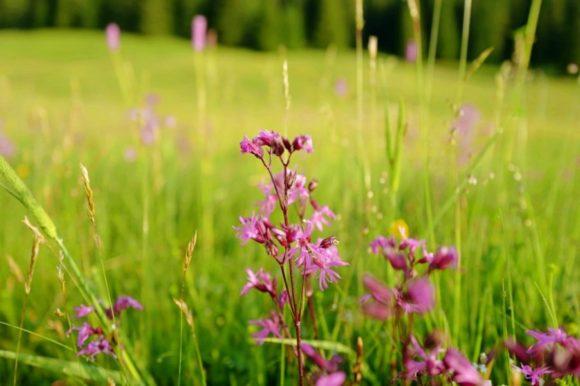 ピンク色の高山植物。