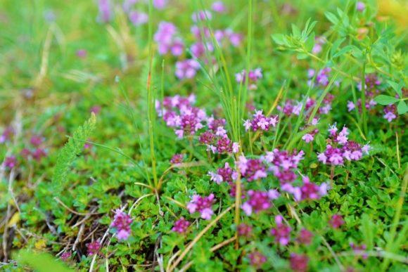 小ぶりな高山植物。