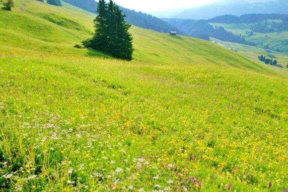 花咲き誇るAlpedisiusi。