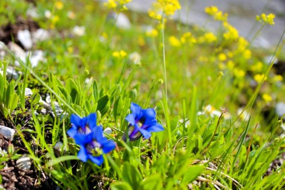 アルプス三大名花の1つ「チャボリンドウ(Gentiana acaulis)」