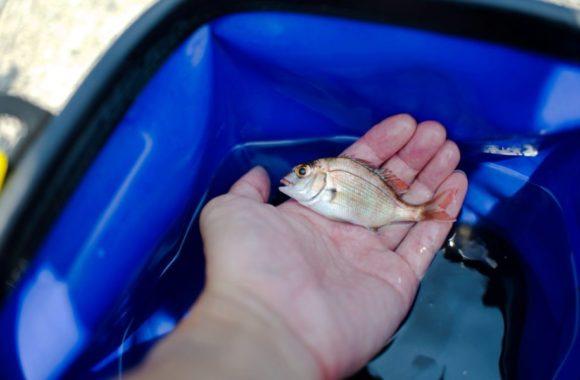 マダイの幼魚(もちろんリリース)