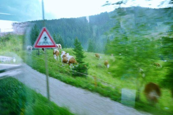 雨の中の牛さん