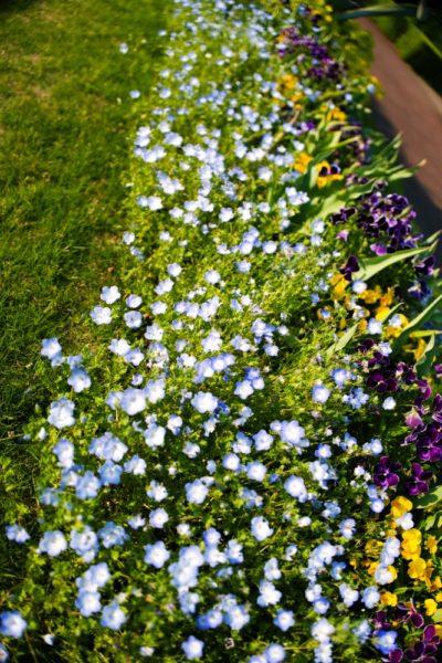 花壇に控えめに咲いています
