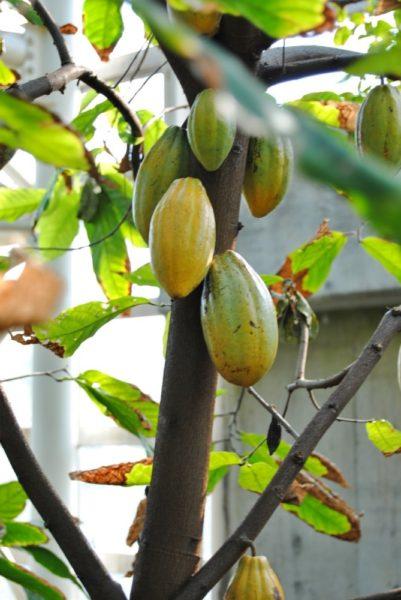 カカオ豆の実もなっていました。