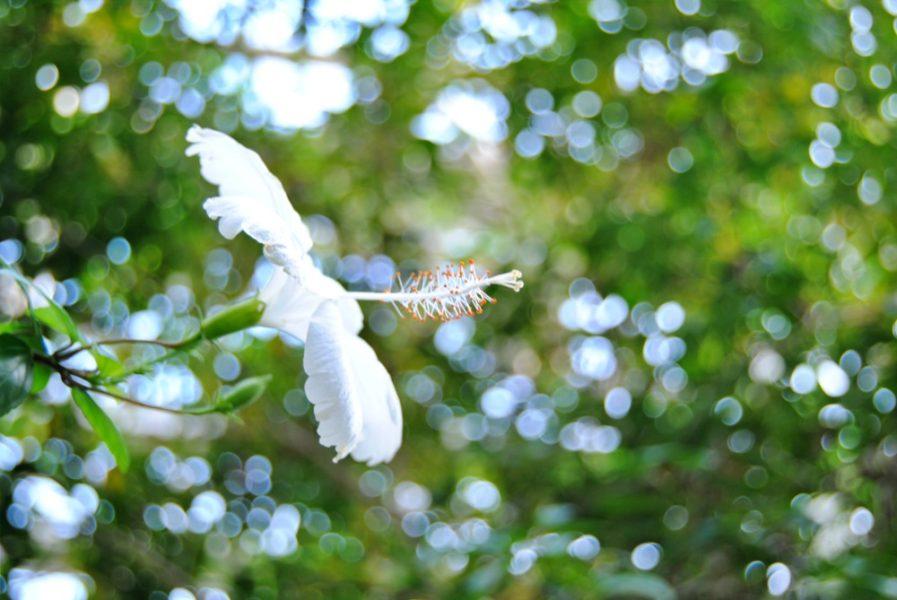 白いハイビスカスも美しい。