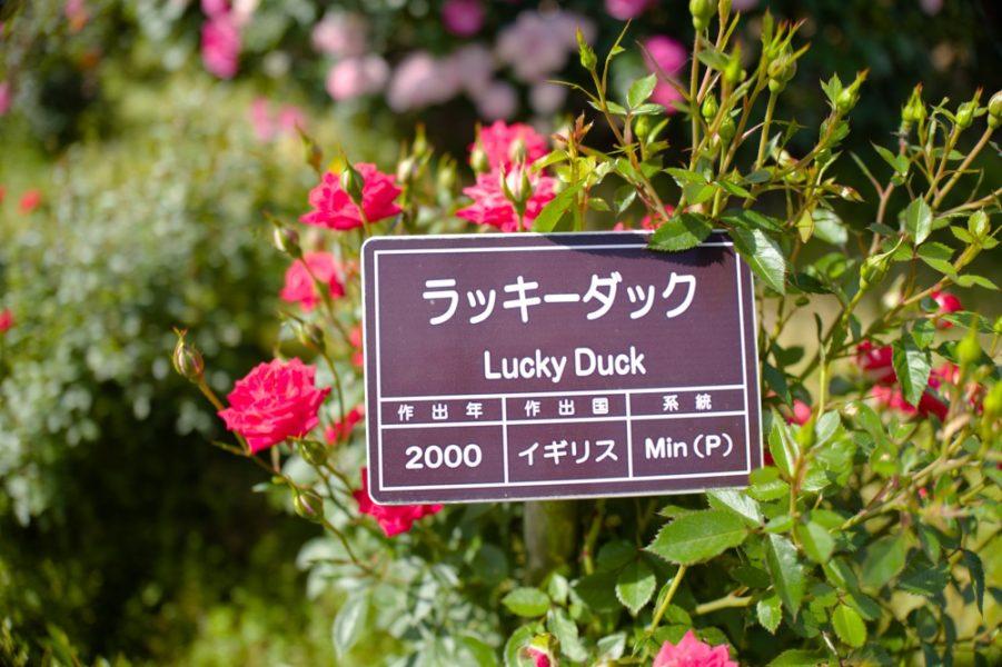 ラッキーダック。名前の由来が気になる!剣弁八重咲きの花形。