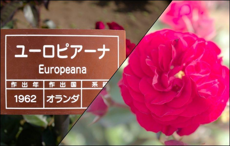丸弁咲きの大輪・ユーロピアーナ。