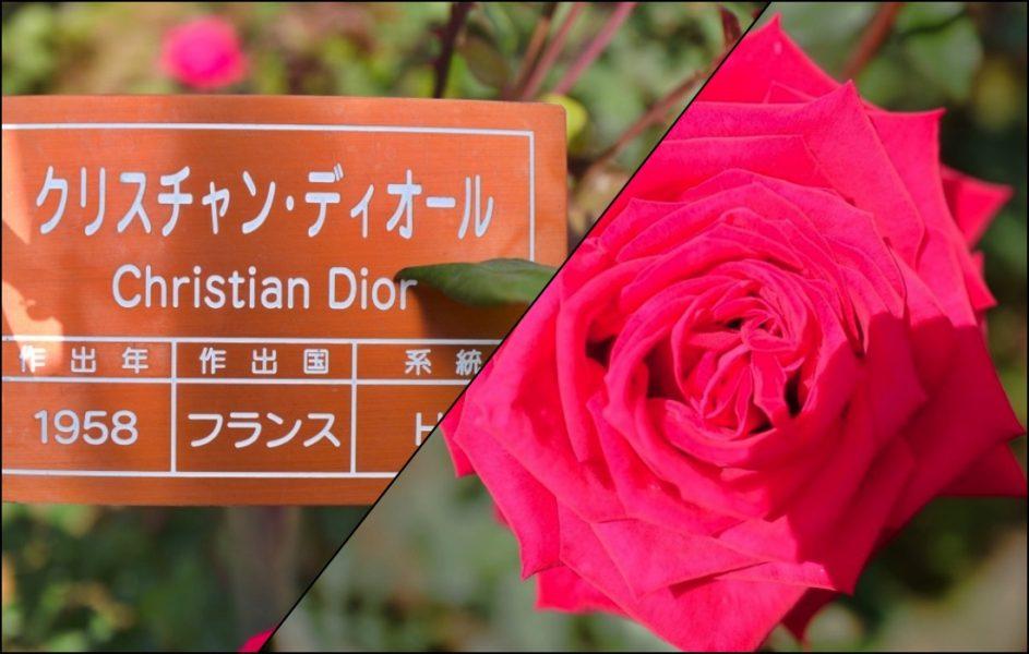 名前に負けてない豪華なバラだ。