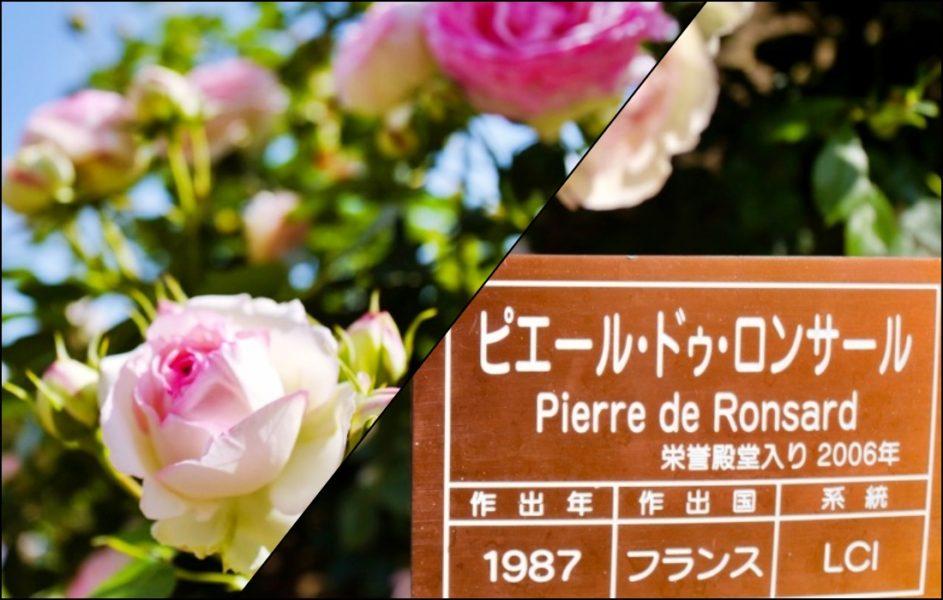 栄誉殿堂入りのバラ。