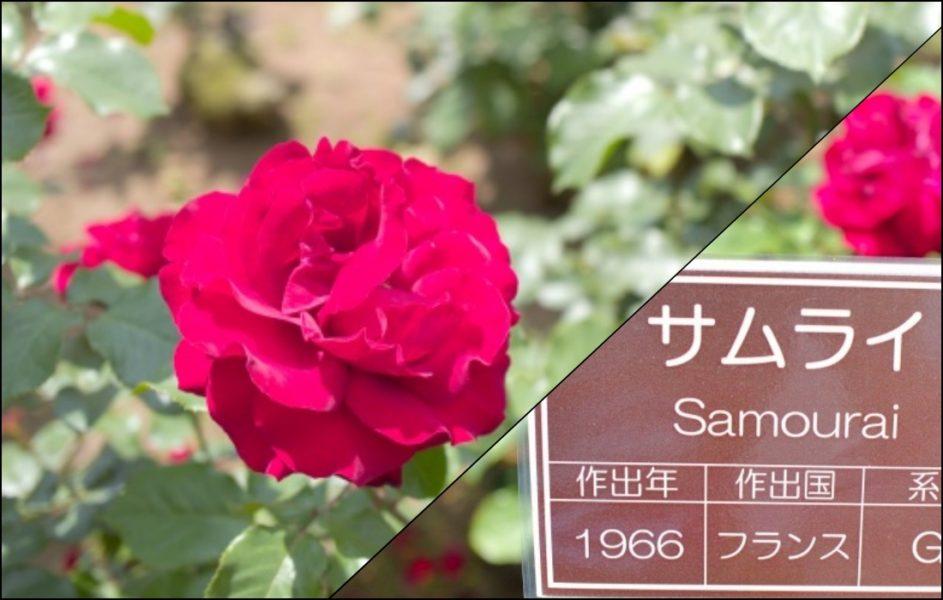 サムライと言う名のバラ!