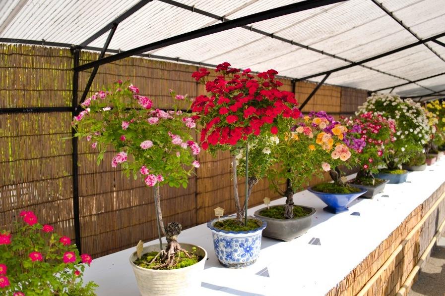 実に見事なバラの盆栽。