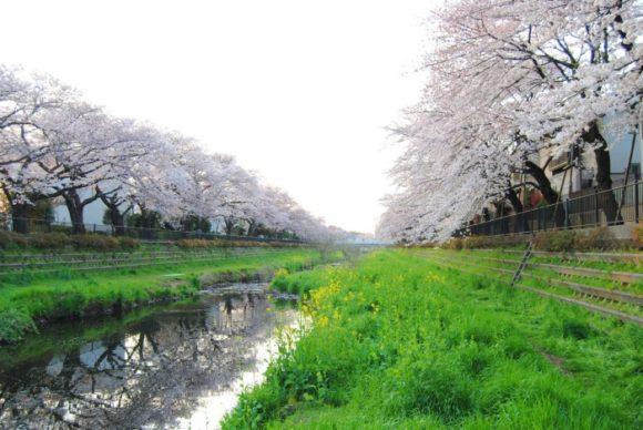 野川は桜並木が美しい。朝に撮影。