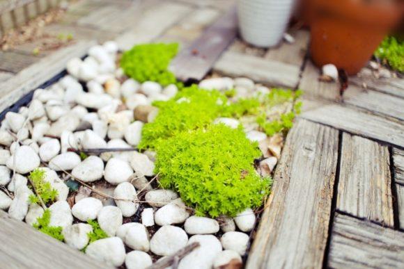 白い化粧砂利の上でも成長するので苔感覚で楽しむことができる。