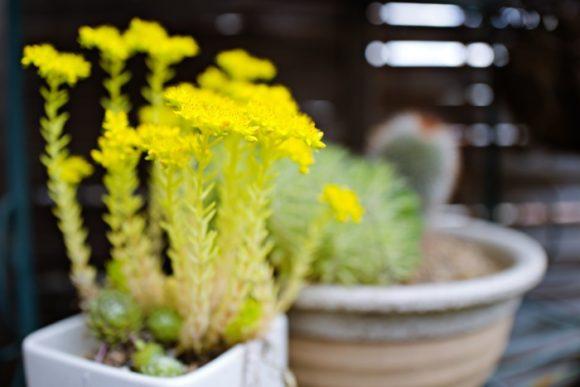 セダムは春先に開花する。