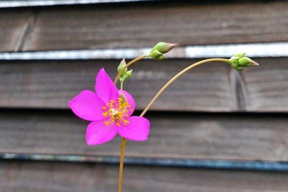 鮮やかなピンク色の花。