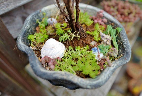 植木鉢に撒いておくと、保水効果も高まる。苗木の種類を見極めてセダムを撒くのがポイント。